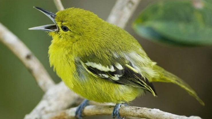 Cara Perawatan Burung Cipoh Agra Cepat Gacor
