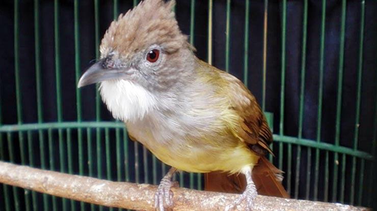Cara Perawatan Burung Kicauan Agar Cepat Gacor
