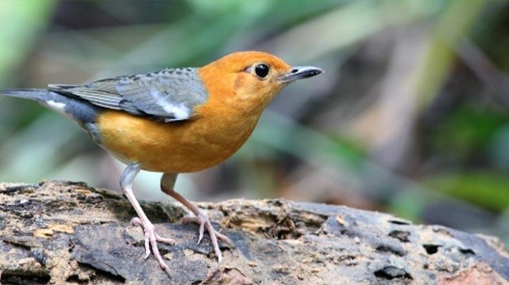 Daftar Harga Burung Anis Merah