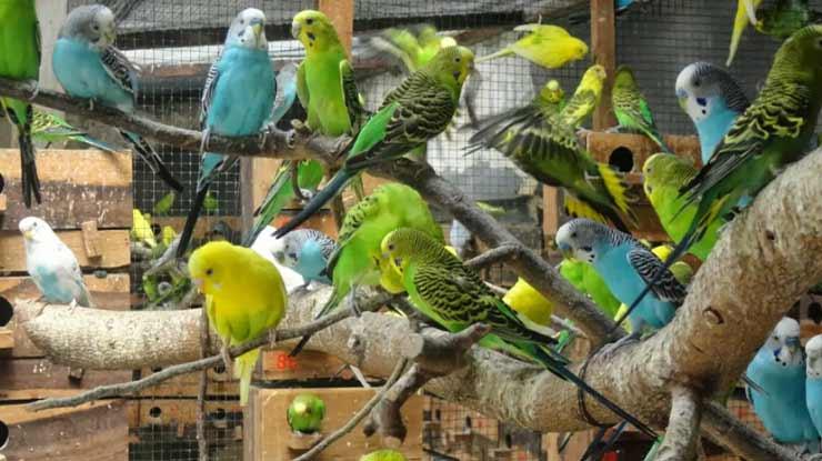 Daftar Harga Burung Parkit