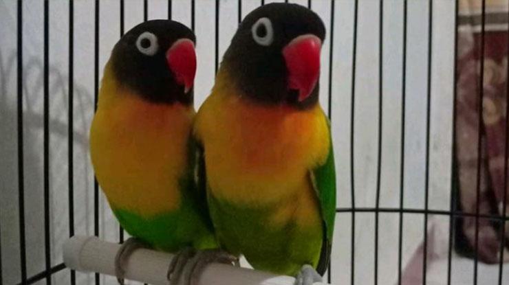 Jenis Burung Lovebird Dakori