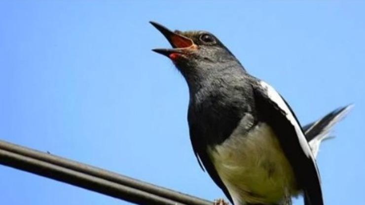 Download Suara Burung Kacer Gacor Ngobra