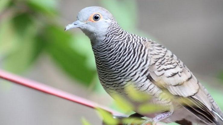 Download Suara Burung Perkutut Lokal dan Bangkok