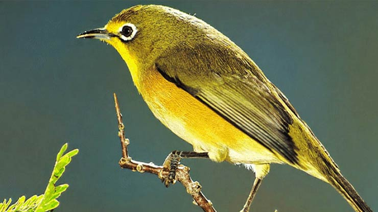 Download Suara Burung Pleci Gacor