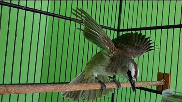 Download Suara Burung Trucukan Nggaruda