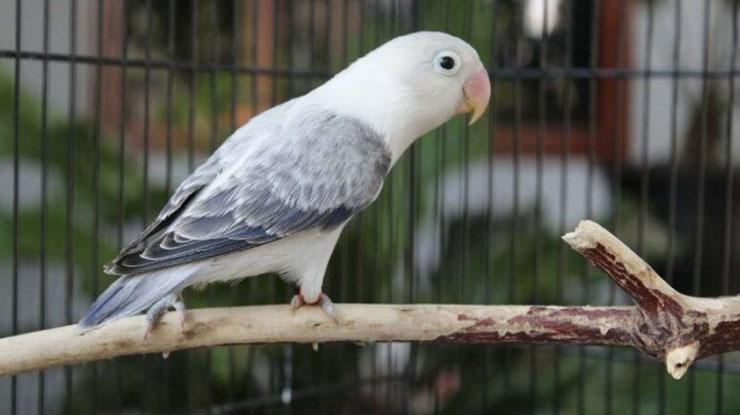 Jenis Burung Lovebird Euwing