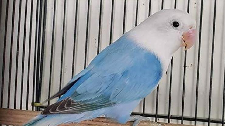 Euwing Blue