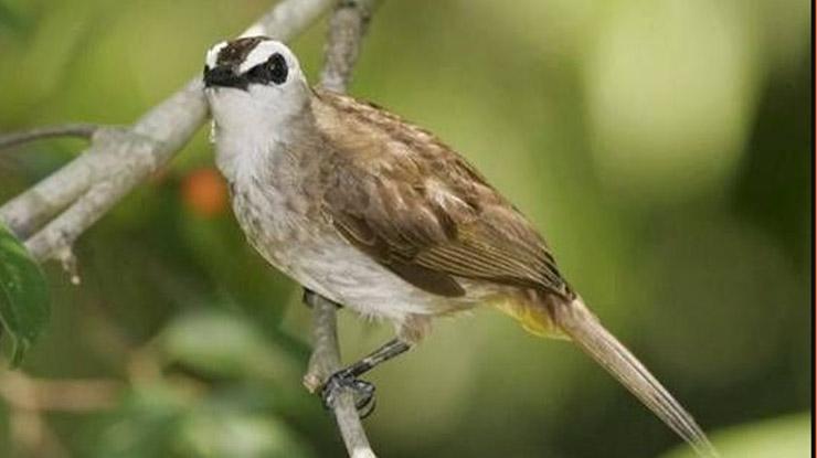 Fakta Unik Burung Trucukan