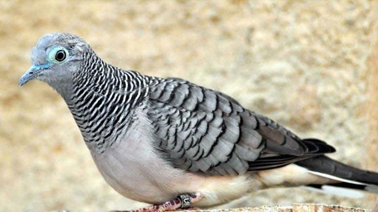 Garis Leher Burung Perkutut