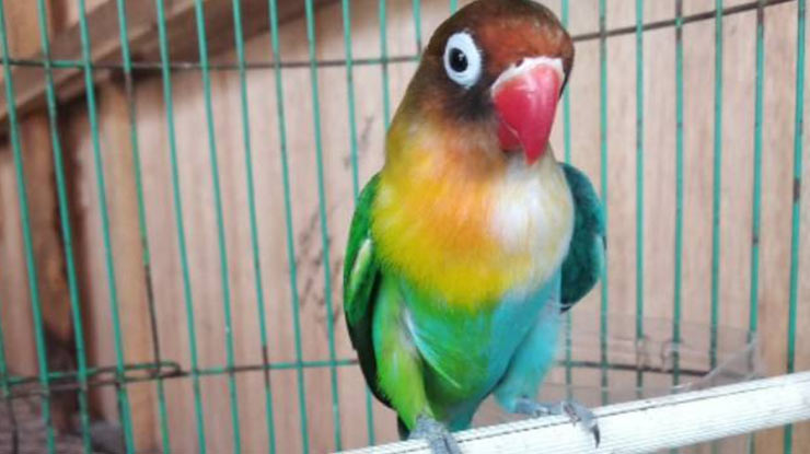 Jenis Lovebird Halfsider