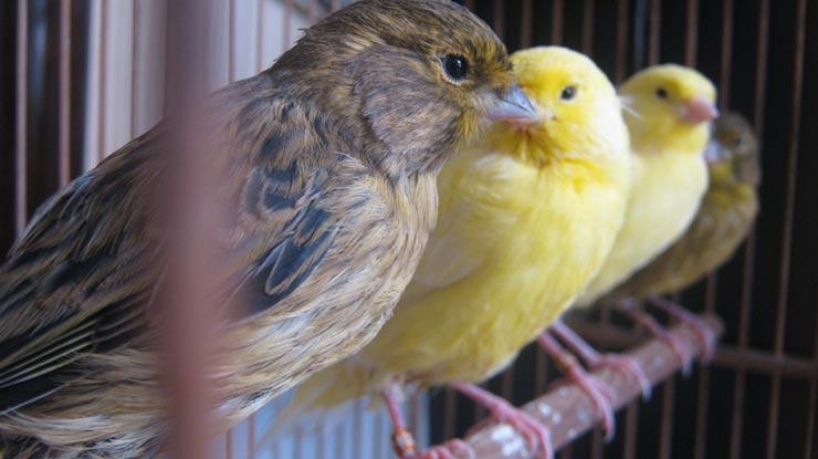 Harga Anakan burung Kenari Sesuai Jenis