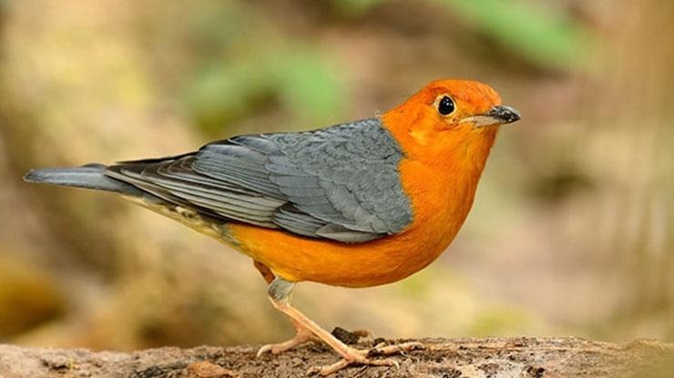 Harga Burung Anis Merah Terbaru dan Terlengkap