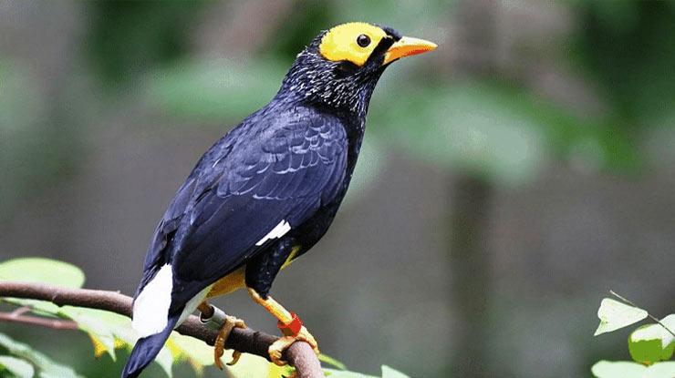 Harga Burung Beo Papua