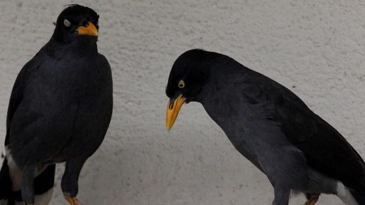 Harga Burung Jalak Kebo Berjenis Kelamin Jantan