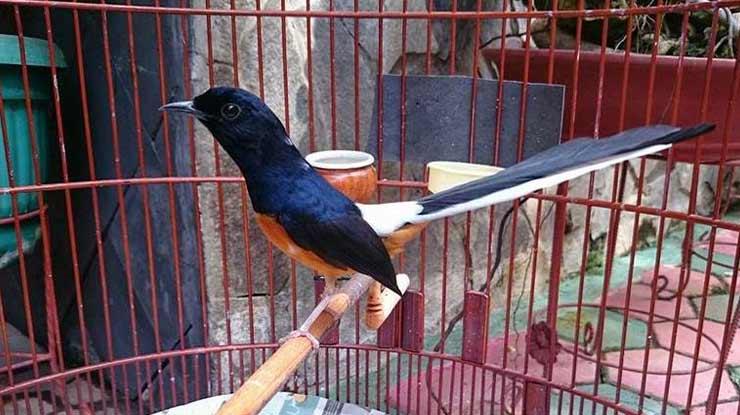 Harga Burung Murai Batu Medan