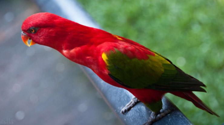 Harga Burung Nuri Maluku