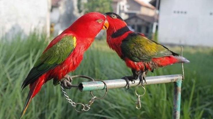 Harga Burung Nuri Terlengkap