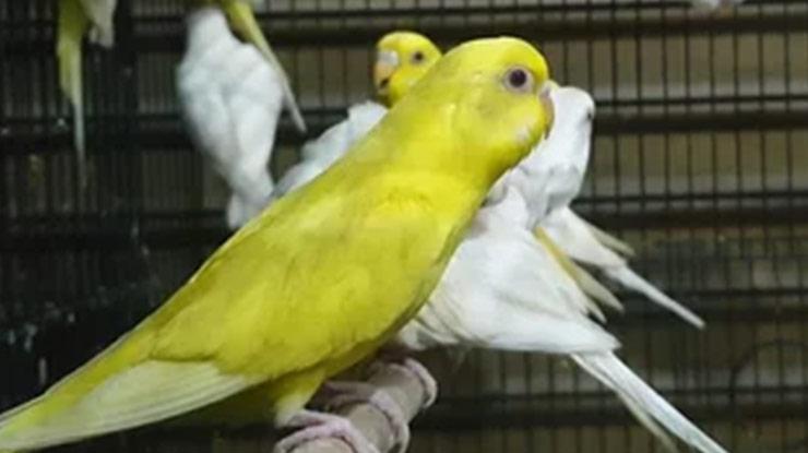 Harga Burung Parkit Lutino Mata Merah