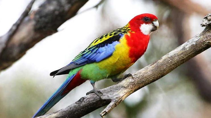 Harga Burung Parkit Rosella