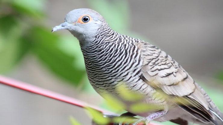 Harga Burung Perkutut Terlengkap Berdasarkan Jenisnya