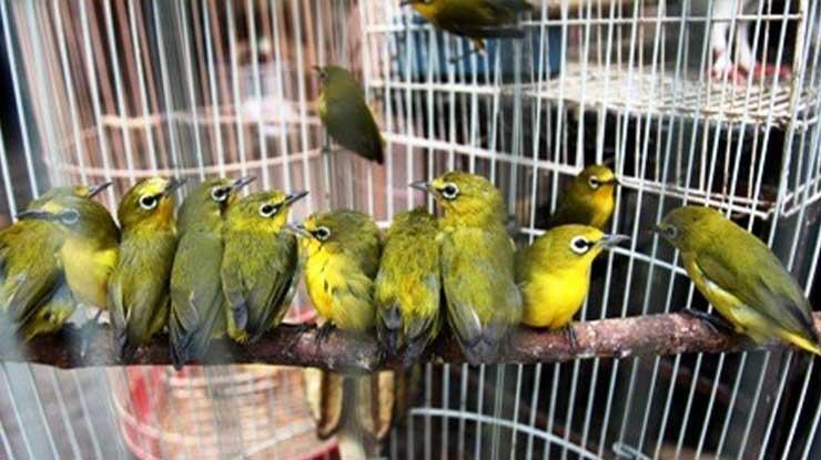 Harga Burung Pleci Terbaru