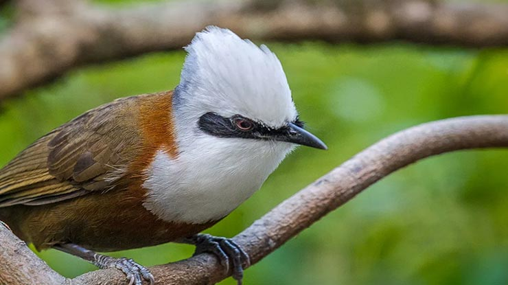Harga Burung Poksay Berdasarkan Jenis Terbaru Selengkapnya