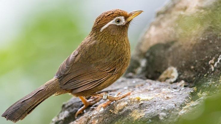 Burung Poksay Hwamei atau Wambi