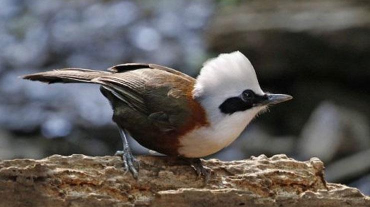 Harga Burung Poksay Jambul