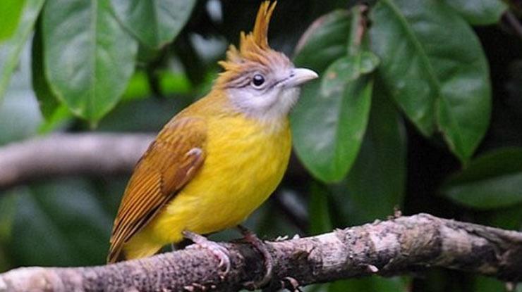 Karakter Asli Burung Cucak Jenggot