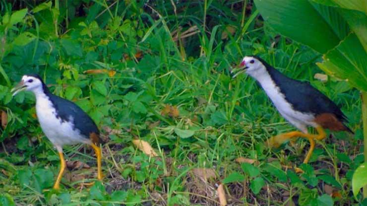 Karakteristik Burung Ruak Ruak