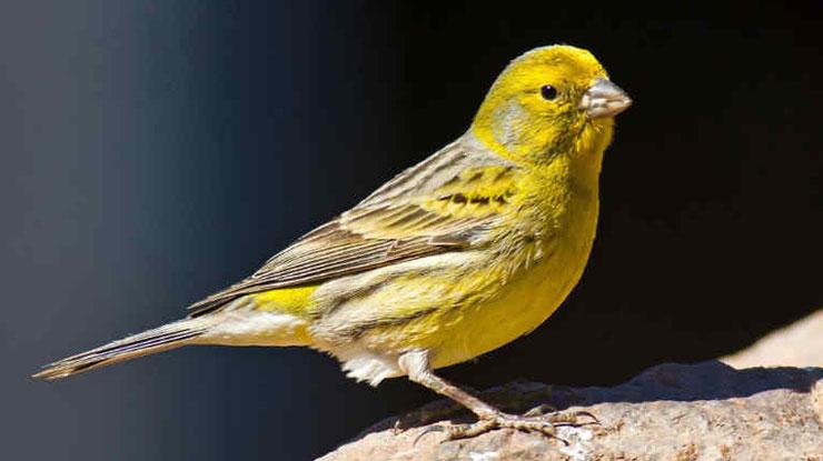 Harga Burung Kenari Betina