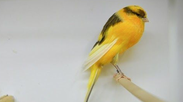 Harga Burung Kenari Jantan Dewasa