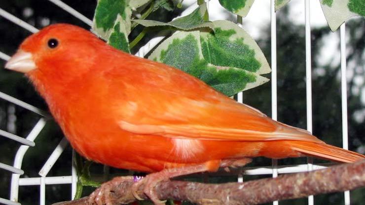 Kenari Red Factor