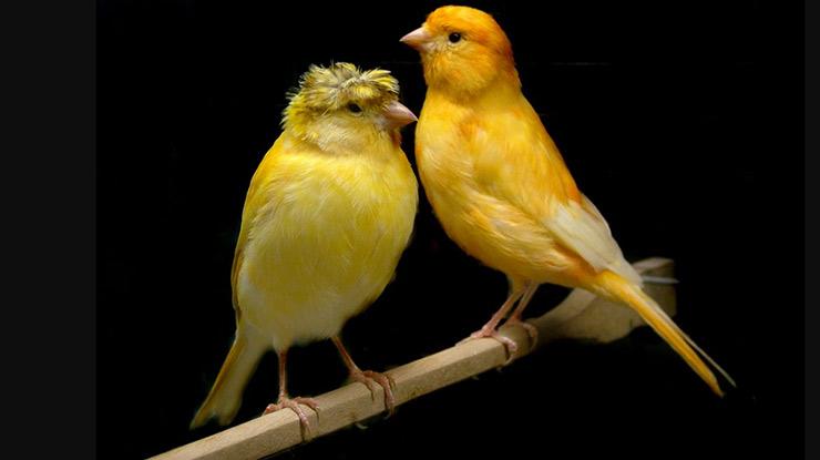 Harga Burung Kenari Siap Kawin