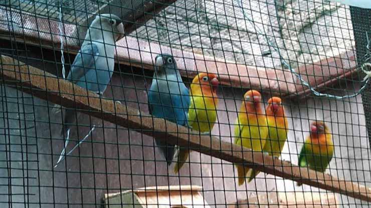 Koloni untuk mengatasi Lovebird ngekek sambil ngepak