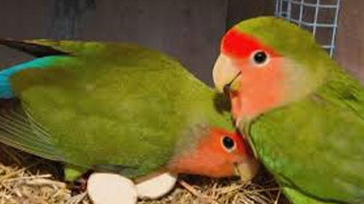 CIRI LOVEBIRD BERJODOH DAN LOVEBIRD MULAI BERTELUR