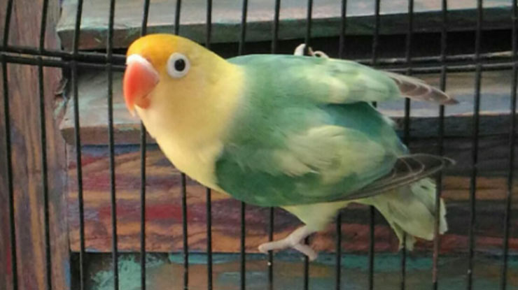 LOVEBIRD BETINA TERBANG