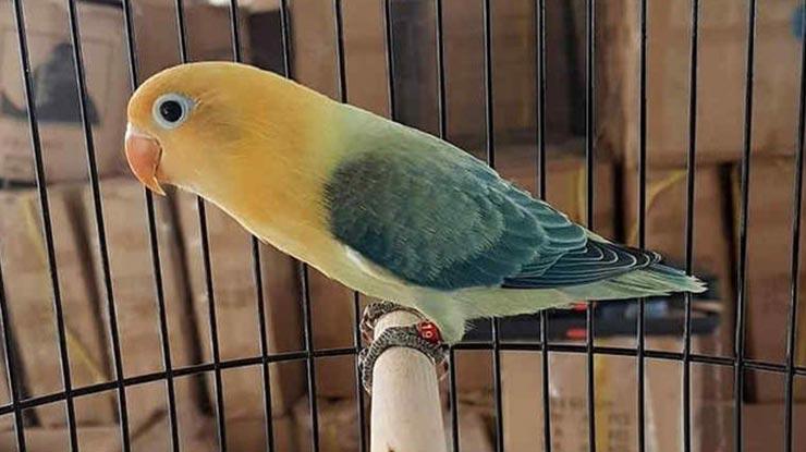 HARGA BURUNG LOVEBIRD BIOLA CANTIK DAN TERMAHAL