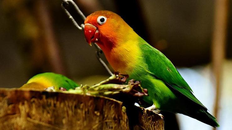 LOVEBIRD BIOLA TERCANTIK