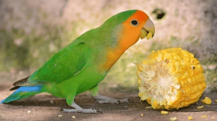 LOVEBIRD MAKAN JAGUNG MUDA