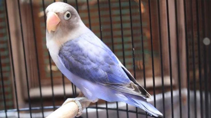 HARGA BURUNG LOVEBIRD VIOLET