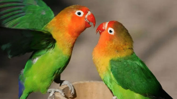 LOVEBIRD YANG SUDAH BERJODOH