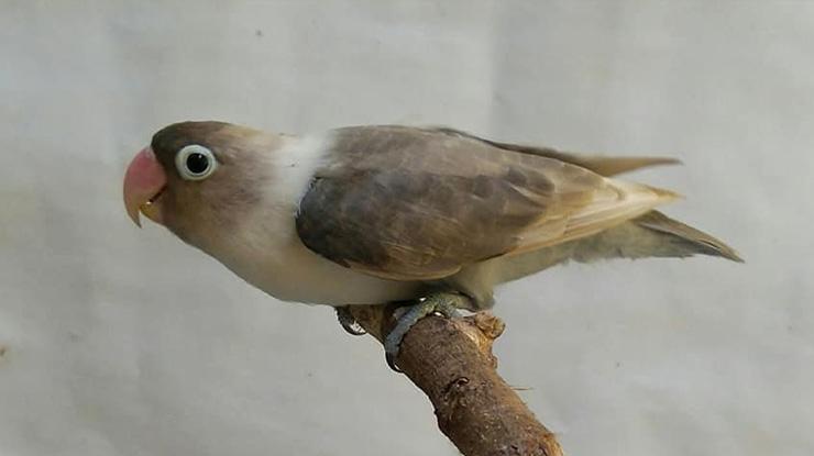Lovebird Moca