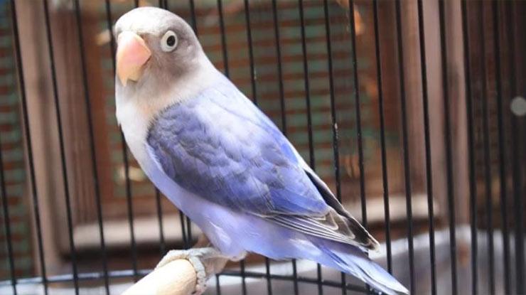 Lovebird Violet Fc