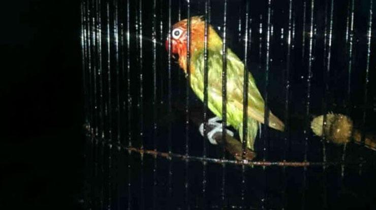 Lovebird Mandi Malam untuk Mencegah ngekek sambil buka sayap