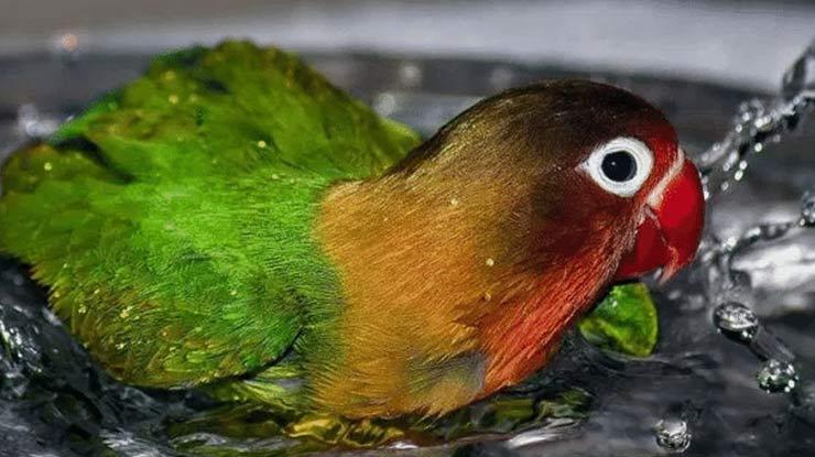 Lovebird mandi renang