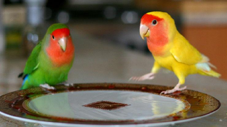 Lovebird mandi sendiri