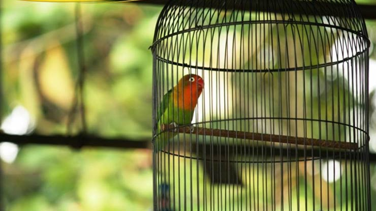 MANFAAT GABAH BANGKOK UNTUK LOVEBIRD ADALAH DAPAT MEMBUAT LOVEBIRD MENJADI RAJIN BERKICAU