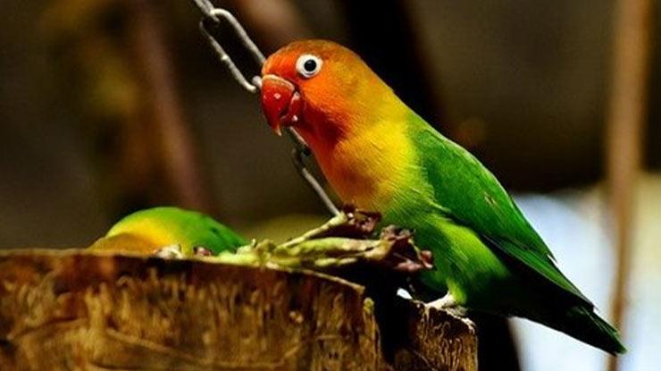 PEMBERIAN GABAH UNTUK BURUNG LOVEBIRD ADALAH MENURUNKAN BIRAHI