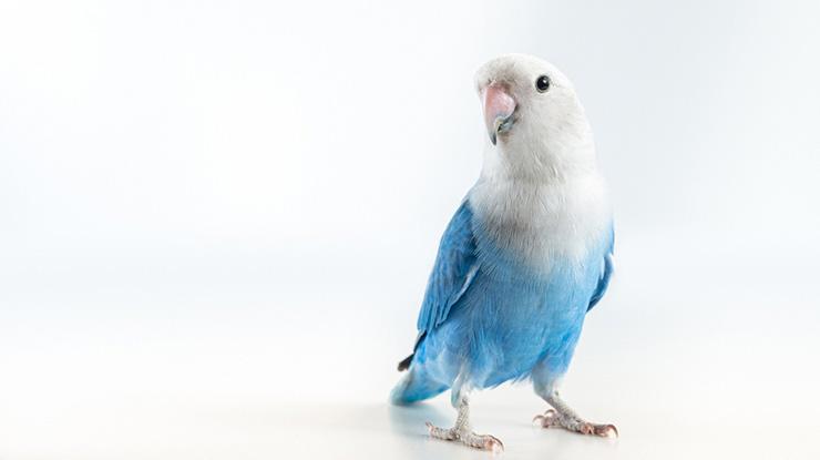 MANFAAT MADU UNTUK BURUNG LOVEBIRD